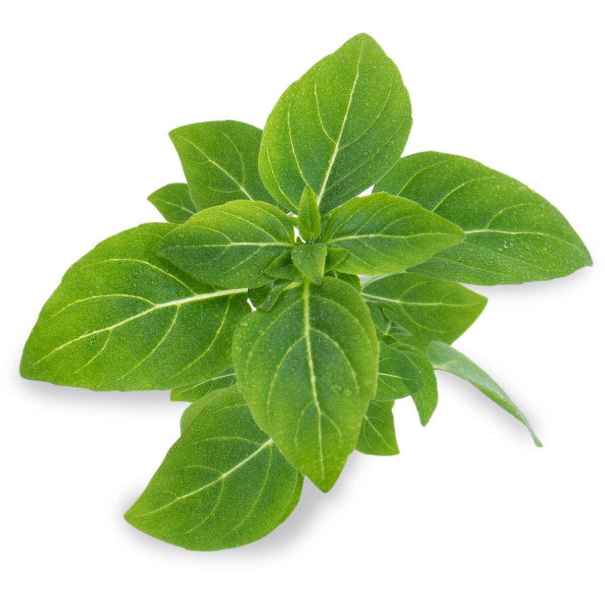 Recharge jardin intérieur VERITABLE Basilic fin vert nain BIO