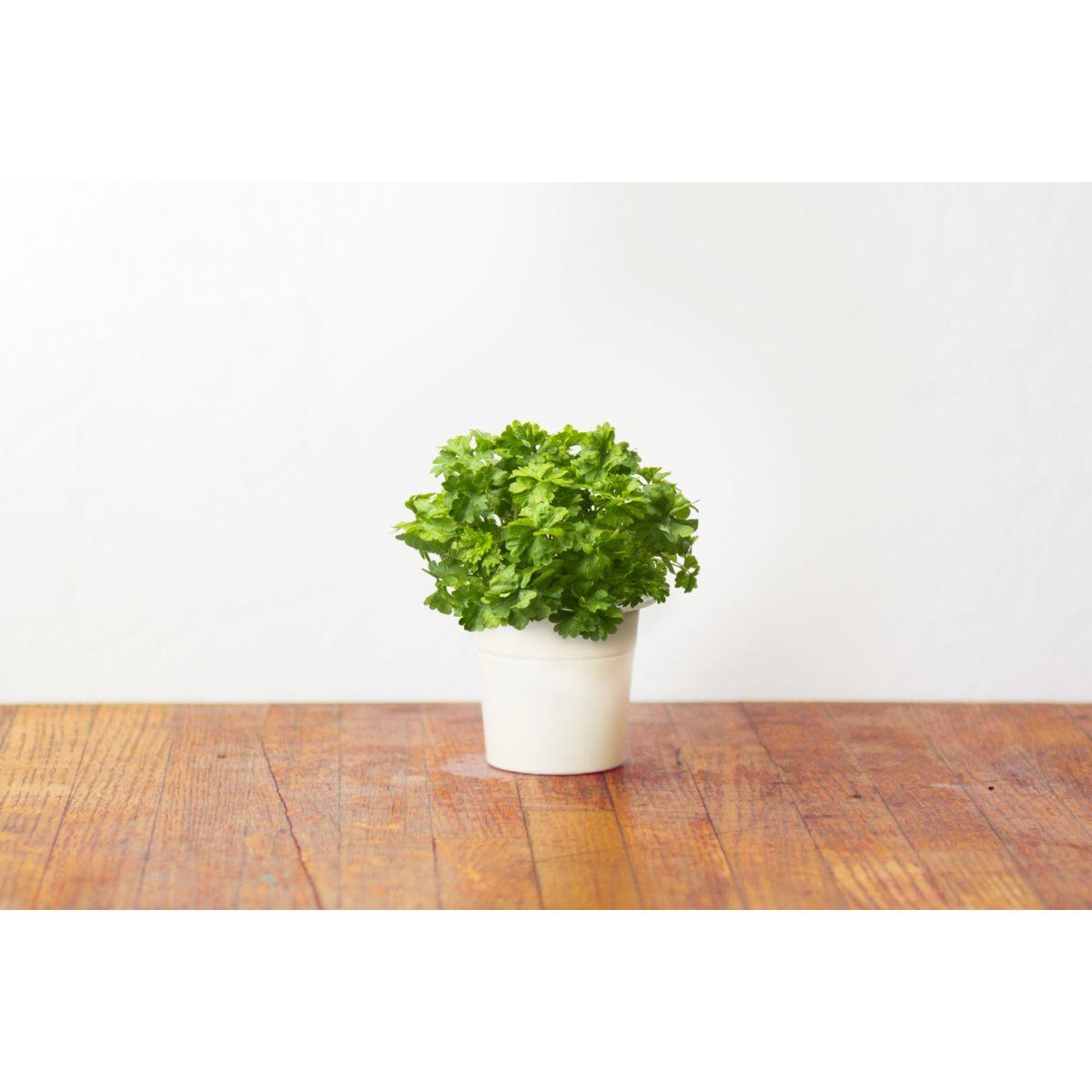 Recharge jardin intérieur CLICK AND GROW Persil lot de 3